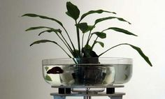 Betta Fish Bowls {on a much, much, MUCH larger scale, this would be very cool. Betta, snails, maybe some other fish or some dwarf frogs in a 15 gallon with a makeshift acrylic 5 gallon vase of sorts with a cool plant in the middle. Some gravel, some caves and lucky bamboo maybe}