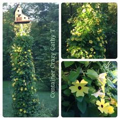 Thunbergia growing up pole w birdhouse. Base is covered but its a washing machine drum.