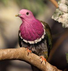 PINK-HEADED FRUIT DOVE - Ptilinopus porphyreus . . . Also Pink-Necked Fruit Dove, Temminck's Fruit Pigeon . . . Mountain forests of Sumatra, Java, Bali.