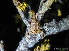 📸🦂 Scorpion Glowing under Ultraviolet Light Scorpion, Wildlife Photography, Ultra Violet, Photos, Animals, Scorpio, Pictures, Animales, Animaux
