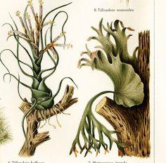 Epithytes, tillandsia, ficus, staghorn fern - Antique 1890s chromolithograph