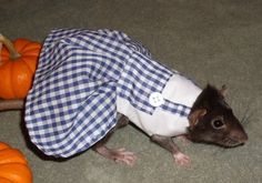 Costumes For Your Pet Rat. Aww would haved loved doing this with you will have to make one for squeaky are new rat and take pictures for halloween