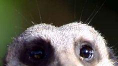 Image caption                                      Tras esa mirada se encuentra un mamífero implacable.                                Cuando se trata de hacer un ranking de los mamíferos más violentos con sus propias especies, los leones, lobos y humanos no estamos  en los cinco primeros puestos. En lo más alto de la lista están el cercopiteco de cola roja -un primate oriundo de África central-, el mono a