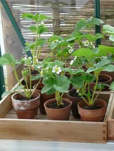 How to grow strawberries in pots a great read from growveg.com