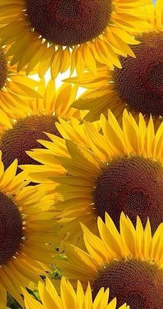 "Faith, brilliance, loyalty and affection are the connotations of sunflower. The implied meaning is ""silent love"".Hope the sunflower wallpaper can help you find the happiness you want ,and the sunlight that belongs to you! Sunflower Quotes, Sunflower Pictures, Sunflower Flower, Sunflower Fields, My Flower, Yellow Flower Pictures, Giant Sunflower, Happy Flowers, Beautiful Flowers"