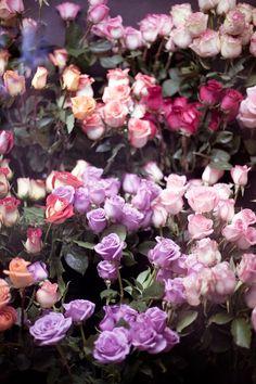 Beautiful Garden Roses.