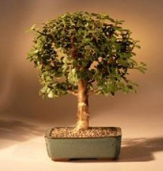 Bonsai Boy's Baby Jade Bonsai Tree - Medium Portulacaria Afra 5 years old, tallRecommended bonsai tree, grown and trained by Bonsai Boy of New York This