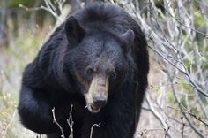 The American black bear is the only bear that lives in Texas. Sightings are reported every year in the Trans Pecos region in west Texas. Additionally, according to Texas Parks and Wildlife Department (TPWD), 2012 has seen an increase in bear sightings across Texas' Hill Country and South Texas. Experts believe that the 12 bears that have been spotted in 2012 most likely came from Mexico to escape drought conditions.