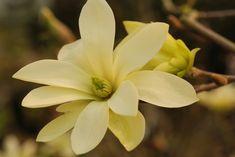 Magnolia 'Gold Star'