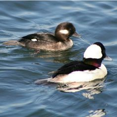 Bufflehead ducks took pic of these in Shelburne VT