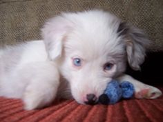"Toy Australian Shepherd puppy ""Captain"""