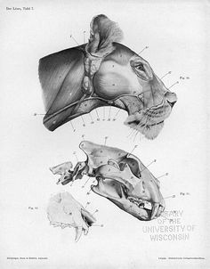 Lion Head: Side View Photo: From An Atlas of Animal Anatomy for Artists by W. Anatomy Head, Lion Anatomy, Animal Anatomy, Anatomy Drawing, Anatomy Poses, Animal Skeletons, Animal Skulls, Animal Sketches, Animal Drawings