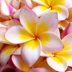 Hawaii Flowers, Tropical Flowers, Colorful Flowers, Plumeria Tree, Plumeria Flowers, Tropical Garden, Tropical Plants, Unusual Flowers, Beautiful Flowers