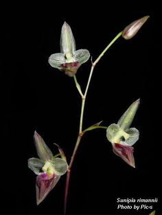 Inflorescence of Sunipia rimannii