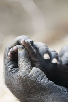 Gorilla mother holding baby's hand. So very touching and tender...