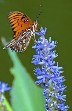 ~Gulf Fritillary Butterfly ~