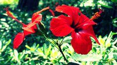 Kembang Sepatu Merah