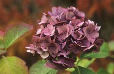 Favorite color of the hydrangeas Macrophylla  photo by Andrew Lawson