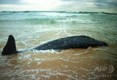 豪ニューサウスウェールズ(New South Wales)州レッドヘッドビーチ(Redhead Beach)に漂着したクジラの死骸。オーストラリア鯨類救援研究機構(Organisation for the Rescue and Research of Cetaceans in Australia、ORRCA)提供(2014年10月14日撮影・提供)。(c)AFP/ORRCA/Elise BAILEY ▼15Oct2014AFP|くちばし持つ希少クジラ、豪海岸に漂着 http://www.afpbb.com/articles/-/3028937 #Beaked_whale Beaked whale - Wikipedia http://en.wikipedia.org/wiki/Beaked_whale ◆アカボウクジラ科 - Wikipedia http://ja.wikipedia.org/wiki/%E3%82%A2%E3%82%AB%E3%83%9C%E3%82%A6%E3%82%AF%E3%82%B8%E3%83%A9%E7%A7%91