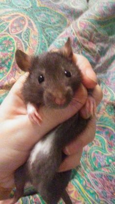 Finally back from her adventure in the wall #aww #cute #rat #cuterats #ratsofpinterest #cuddle #fluffy #animals #pets #bestfriend #ittssofluffy #boopthesnoot