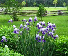 Love Iris'