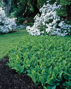 Lily of the valley is famed for its little blossoms and sweet scent. But the shade-loving perennial also has a strong side.