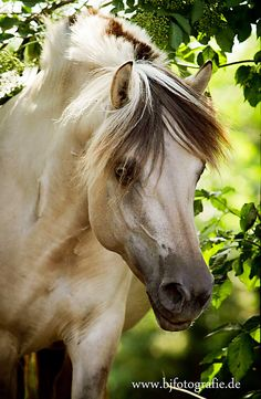 Norwegian Fjord. Such a pretty face! Great horse photography Bokeh effect in background of lush green trees and grass.