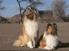 7 Reasons to Love a Collie – American Kennel Club