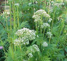 valerian plant | Flowers--Valerian officinalis 'Arterner Zuchtung' plants for sale ...