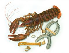 American Lobster Fishery (watercolor) prints available #american #lobster #fishery #rubberband #watercolor #painting #art #illustration #prints #forsale #scienceillustration #science