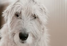 Ida the Irish Wolfhound