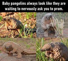 Baby Pangolins...