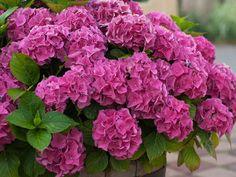 Hortensja w doniczce Love Garden, Colorful Flowers, Flower Power, Flora, Nature, Gardening, Geranium, Hydrangeas, Google