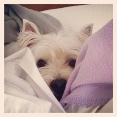 Stella the westie hiding from the lightening