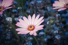Pink Osteospermum Daisy & Forget Me Not