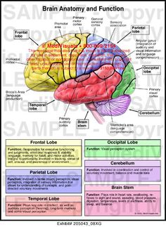 Frontal temporal parietal and occipital lobes cerebellum and brain anatomy and function medical illustration basic brain anatomy and function ccuart Gallery