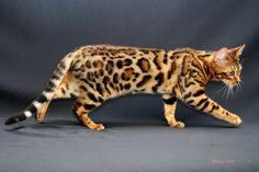 Cool Bengal Cat