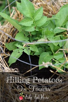 It was an easy project to build our potato towers and now that the potatoes are growing it is time to hill them. Here is how to hill potatoes in towers. #LadyLee'sHome Gardening For Beginners, Gardening Tips, Hydroponic Gardening, Potato Towers, Organic Gardening, Vegetable Gardening, Urban Gardening, Urban Farming, Indoor Gardening