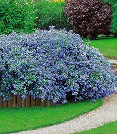 Ceanothus U0027Blue Fashionu0027 Gartensträucher, Gartenpflanzen, Immergrüne  Zwergsträucher, Zwergsträucher, Kleine Gärten