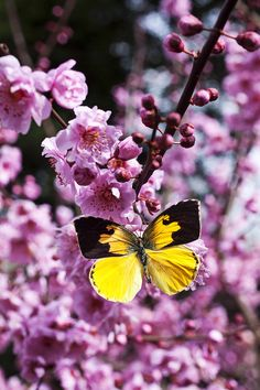 Dogface butterfly in plum tree by Garry Gay