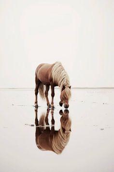 Horse reflection - by Gígja Einarsdóttir