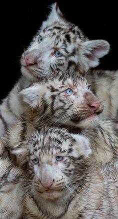 Três tigres tristes. (Foto: Julian Stratenschulte/AFP)