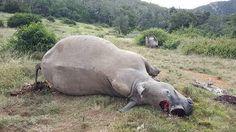 صحيفة سبق: صيادون في جنوب إفريقيا يقتلون 3 حيوانات وحيد القرن - أخبار عالمية