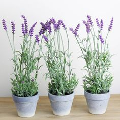 Lavender Plant In PotA great addition to your home are these gorgeous artificial lavender plants in a pot. They look great styled in a kitchen window or styled at your dining table to bring the outdoors indoors. These plants are sold individually, or buy three to display as a trio throughout your home. .Height: 35 cm