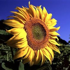 Sunflowers (Helianthus annuus). Roast the seeds, grind them into a meal, press for oil.