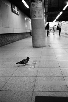 https://flic.kr/p/ACS3sm | 鳩 (pigeon)