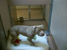 A98888 Tan and white pit bull, male Found on 12/15 at Lawrence Expy and Sandia 94089