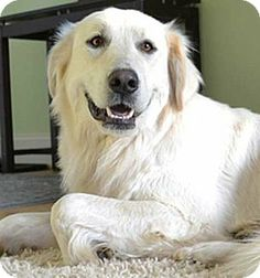 Beacon, NY - Golden Retriever/Great Pyrenees Mix. Meet Lucy in NJ a Dog for Adoption.  I had a yellow lab/Pyrenees mix that was so sweet and loving.
