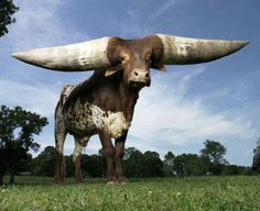 The Guinness Record holder for the largest circumference of horns of any animal in the world | See More Pictures | #SeeMorePictures
