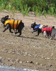 It's off to the lake we go!  Life vests are the way to go for frenchies!
